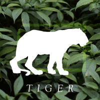 box_tiger